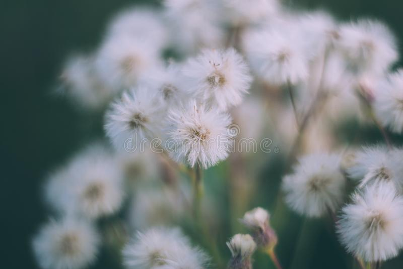Vita fluffiga blommor butterweed, horseweed, erigeroncanadensis, kanadensisk fleabane, conyzacanadensis, hingstföl-svans på a royaltyfria bilder