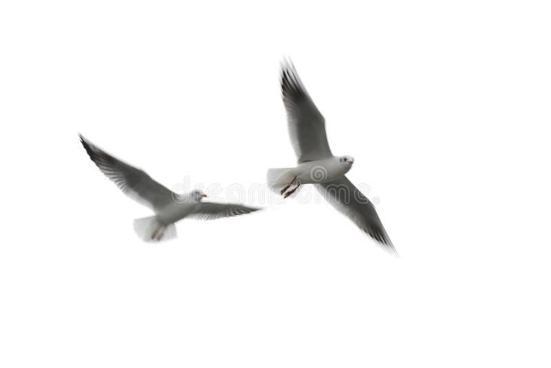 vita flygseagulls royaltyfri foto