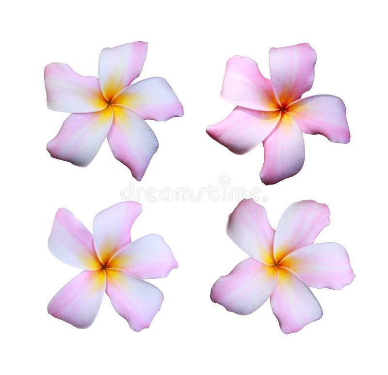 Vita frangipaniblommor som är blandade med rosa färger, färgar isolerat på vit fotografering för bildbyråer