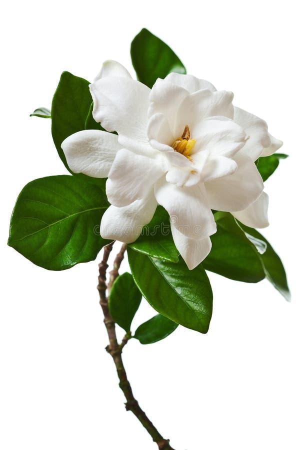 Vita Gardenia Flower Isolated Branch royaltyfria bilder