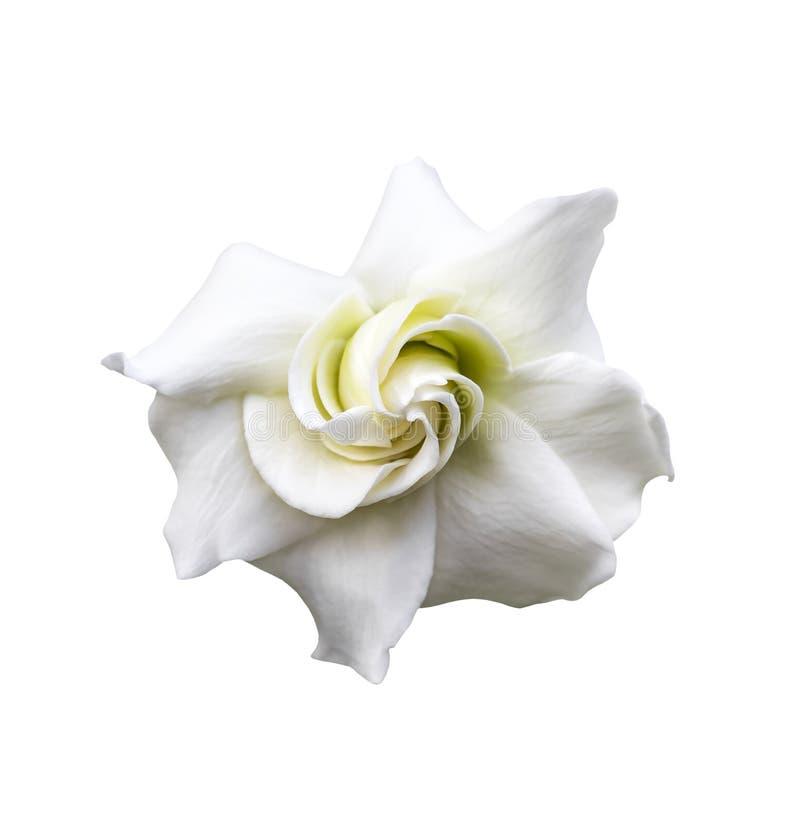 Vita gardeniajasminoides arkivfoto