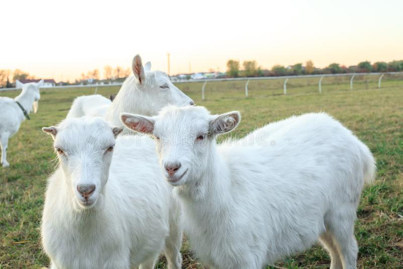 Vita goatling skrubbsår på grön äng arkivfoton