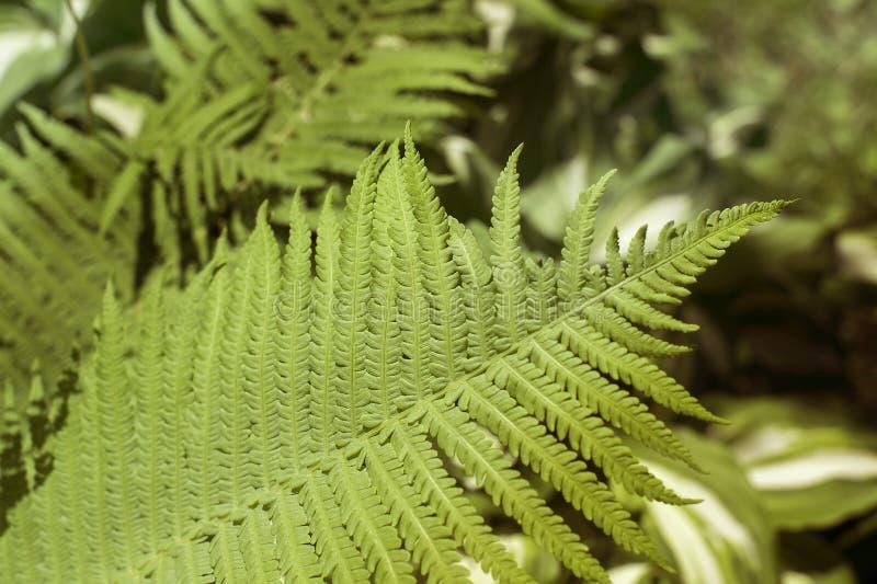 vita gröna isolerade leaves för fern arkivbilder