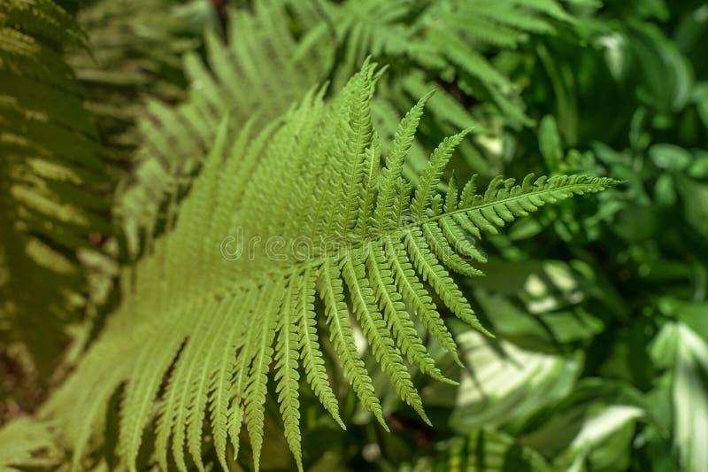 vita gröna isolerade leaves för fern royaltyfri bild