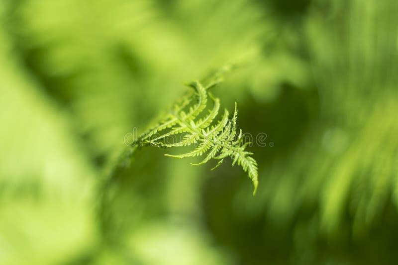 vita gröna isolerade leaves för fern royaltyfria bilder