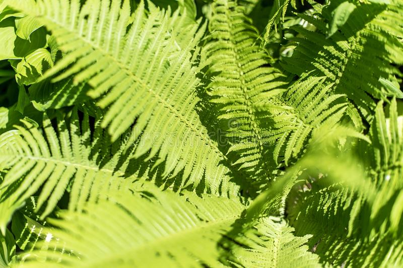 vita gröna isolerade leaves för fern royaltyfri foto