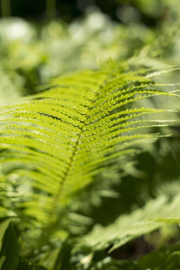 vita gröna isolerade leaves för fern arkivfoton
