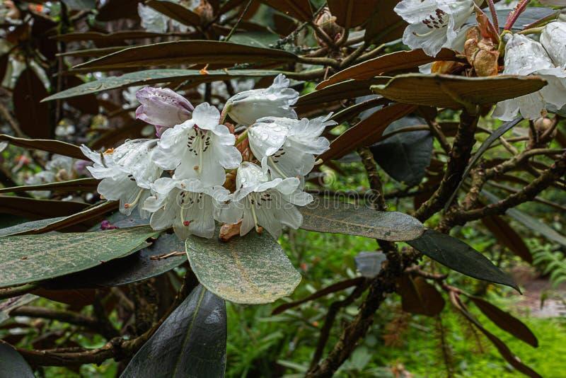 Vita grupperingar av att v?xa f?r blommor p? v?rfilialer fotografering för bildbyråer