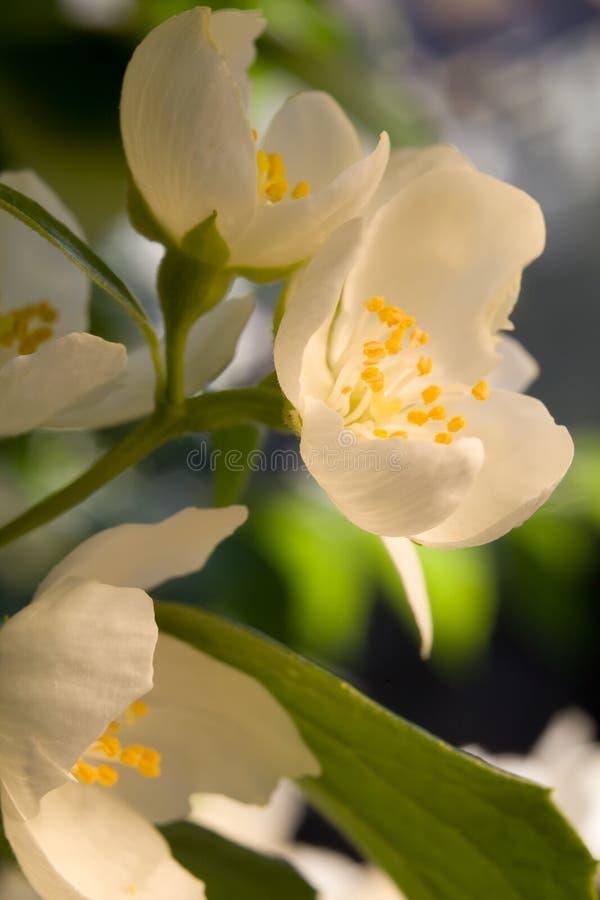 vita härliga blommor royaltyfri foto