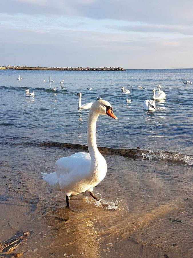 vita härliga swans royaltyfri foto