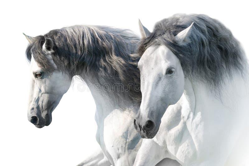 Vita hästar i hög tangent royaltyfria foton