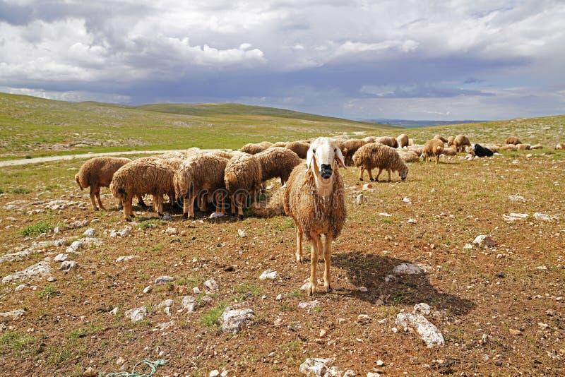 Vita hövdade får som nyfiket ser till kameran och den stora nuen royaltyfri fotografi