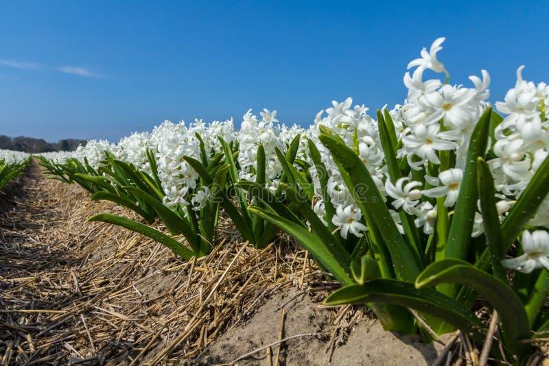 Vita holländska blommor för gemensam hyacint som är nära upp låg vinkel av sikten med bakgrund för blå himmel royaltyfri foto