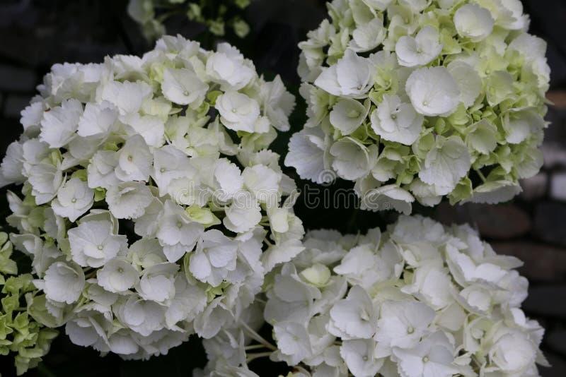 Vita hortensiablomningar på farmerÂ'snas marknad med mörk bakgrund arkivbild