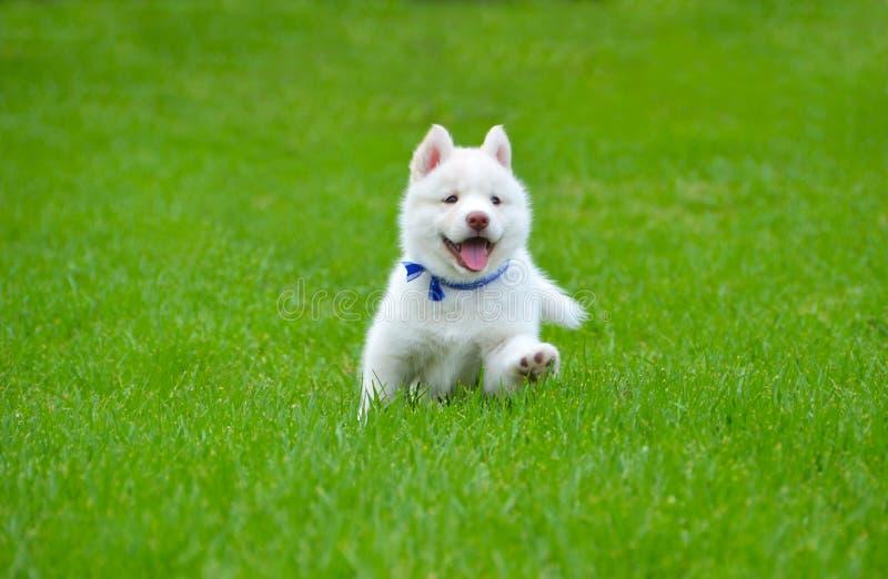 Vita Husky Puppy arkivfoto
