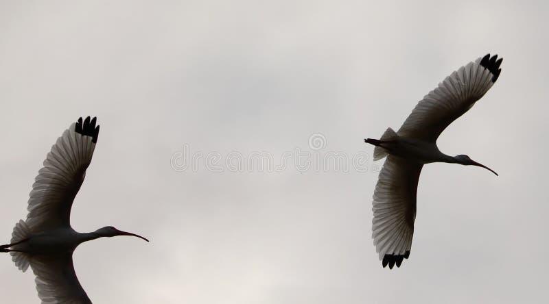 Vita ibins i flykten arkivfoto