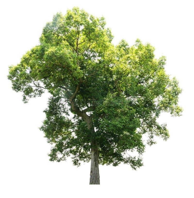 vita isolerade trees royaltyfri foto