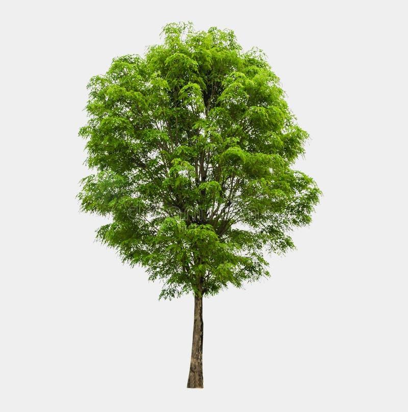 vita isolerade trees arkivbilder