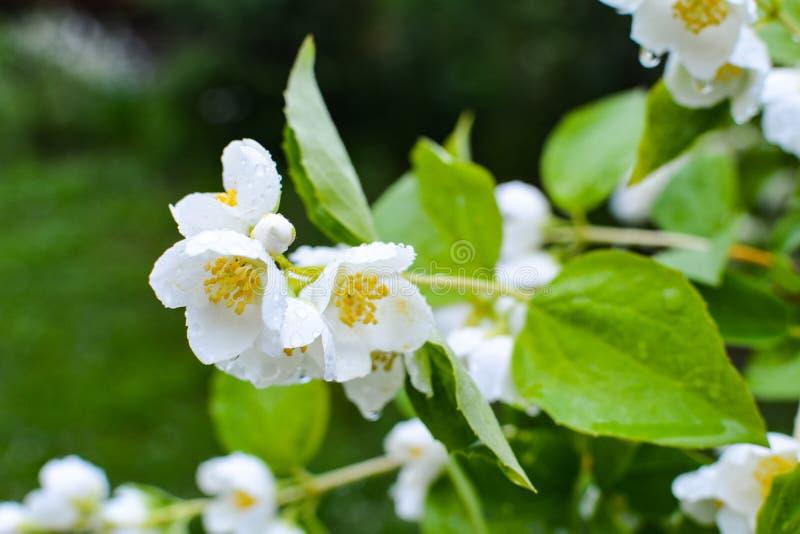 Vita jasminblommor på en grön bakgrund arkivbild