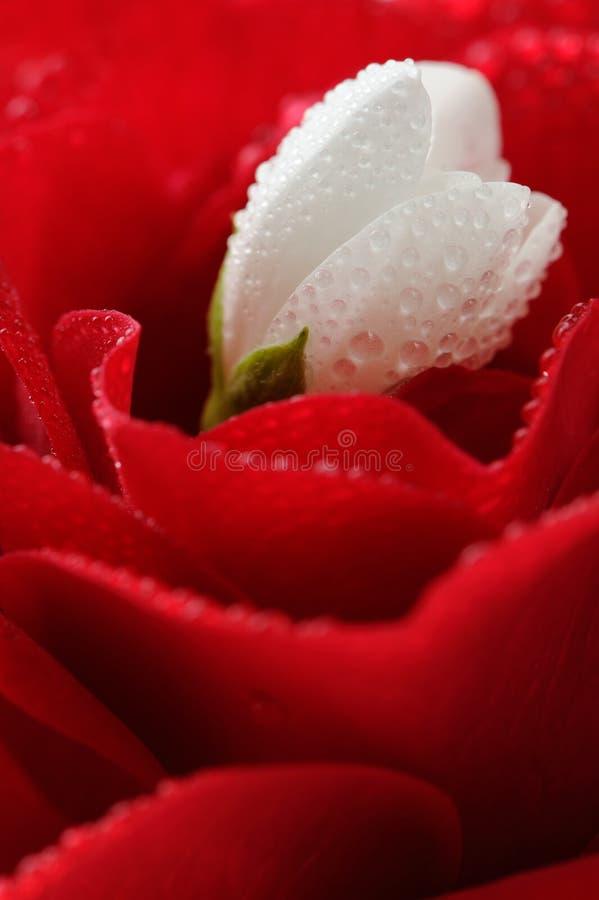 Vita Jasmine Flower och röd ros med vattendroppar arkivbilder