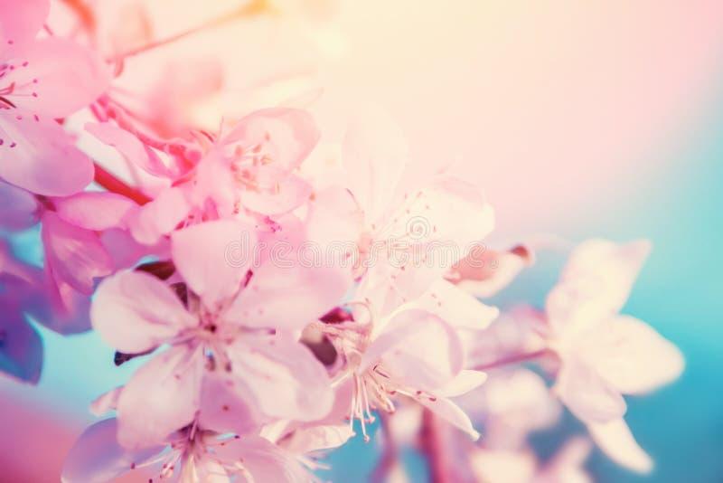 Vita körsbärsröda blommor blomstrar på träd Härlig blom- bakgrund för natur royaltyfri foto