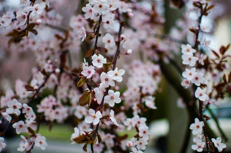 Vita körsbärsröda blomningar för rosa färger och arkivfoton