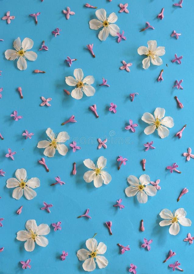 Vita körsbärsröda blomningar på blå bakgrund royaltyfria foton