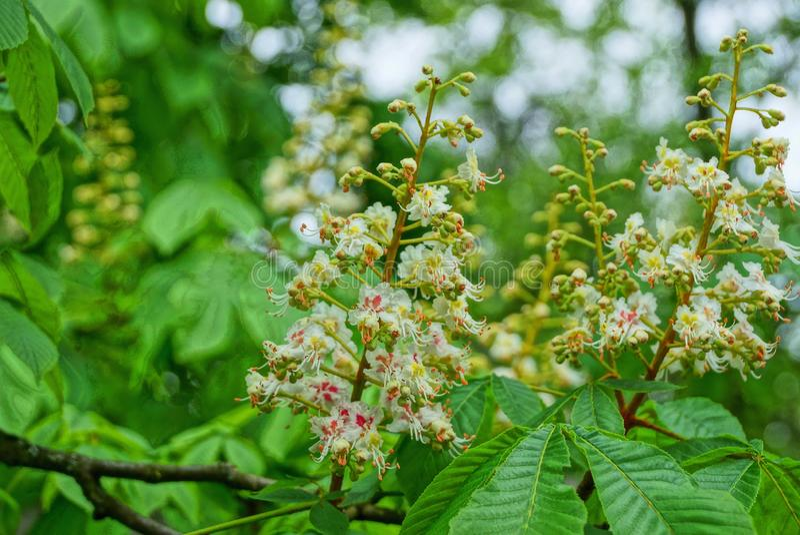 Vita kastanjebruna blommor med gröna sidor på en trädfilial royaltyfri bild