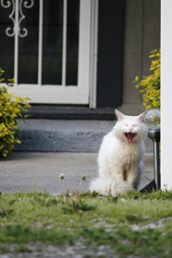 Vita kattgäspningar och blickar som skri arkivfoto