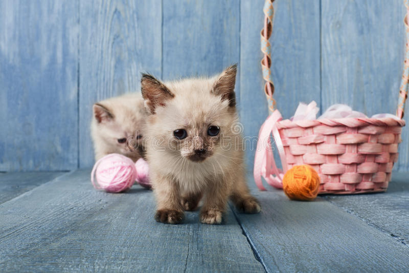 Vita kattungar på blått trä royaltyfri fotografi