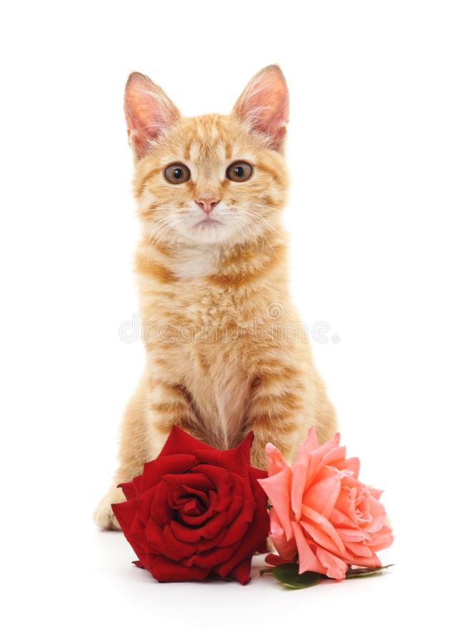 Vita kattunge och rosor royaltyfria foton