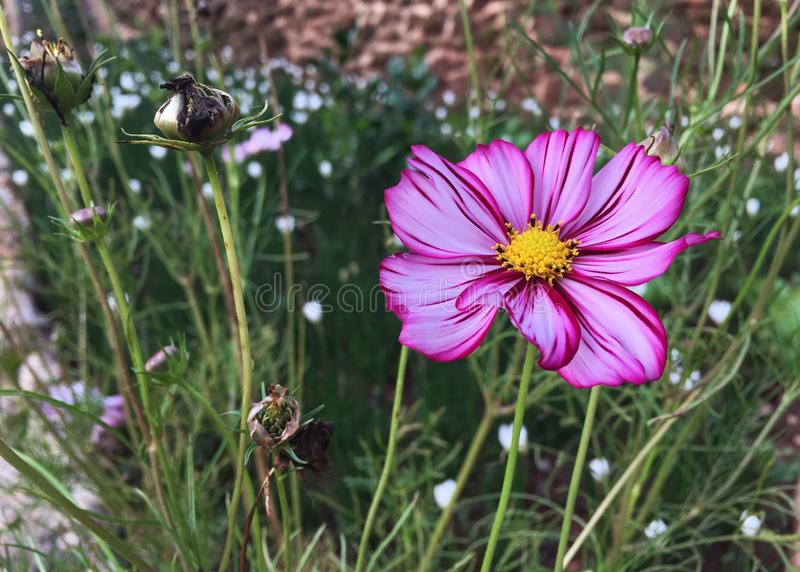 Vita kosmosblommor för rosa blandning som blommar i trädgården royaltyfria bilder