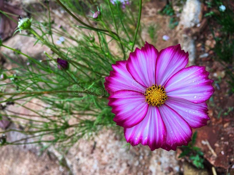 Vita kosmosblommor för rosa blandning som blommar med regndroppen royaltyfri bild