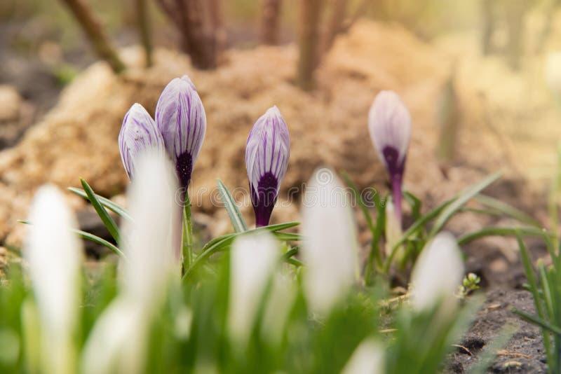 Vita krokusar fokuserar inte på blomsterrabatten i bakgrunden av purpurfärgade krokusar i fokusen arkivbild