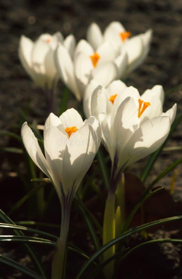 Vita krokusar som växer på jordningen i tidig vår Första spri royaltyfria foton