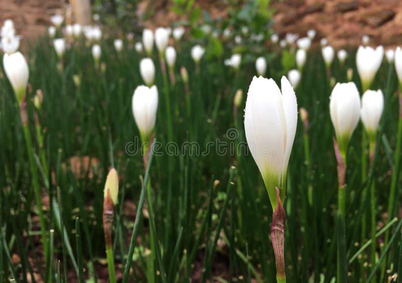 Vita krokusblommor som blommar med regndroppen i trädgården i regnig säsong arkivbilder