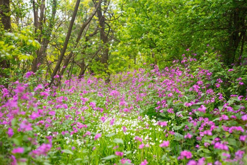 Vita lösa blommor för lilor och royaltyfri fotografi