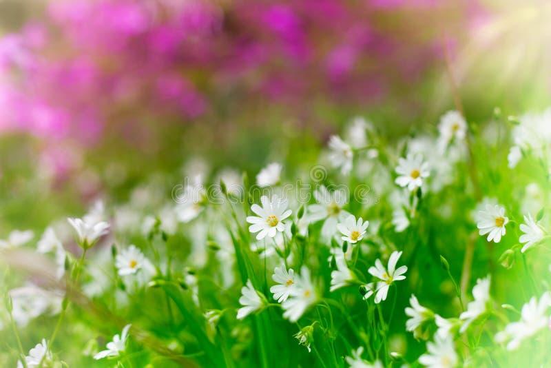 Vita lösa blommor för lilor och arkivfoto