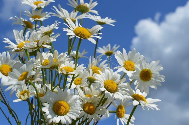 Vita lösa kamomillar för en bukett mot bakgrunden av den blåa himlen royaltyfri foto