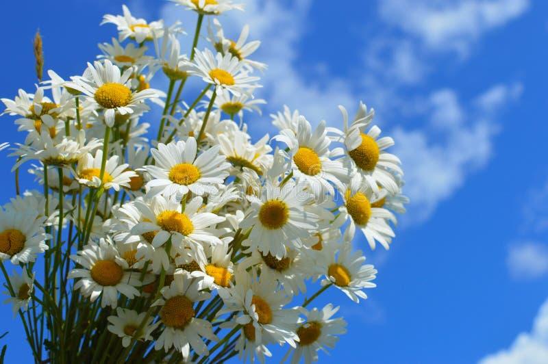 Vita lösa kamomillar för en bukett mot bakgrunden av den blåa himlen royaltyfria foton
