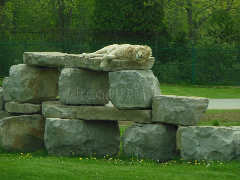 Vita Lion Napping royaltyfri foto