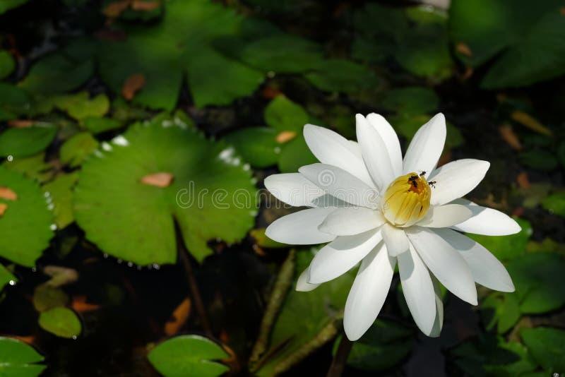 Vita Lotus Flower och bin arkivbild