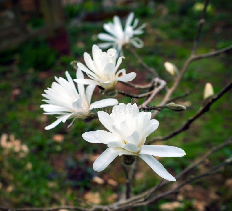Vita magnoliablommor i vårgräsplanträdgård arkivbilder
