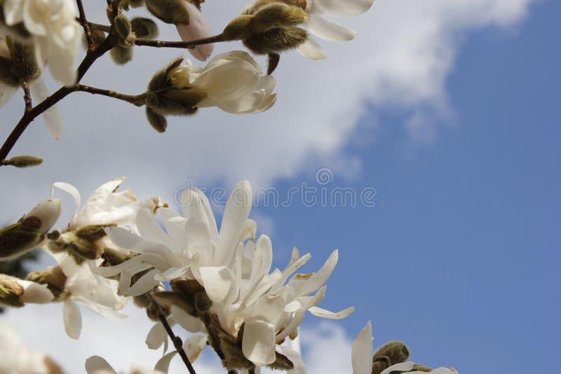 vita magnolias arkivbild