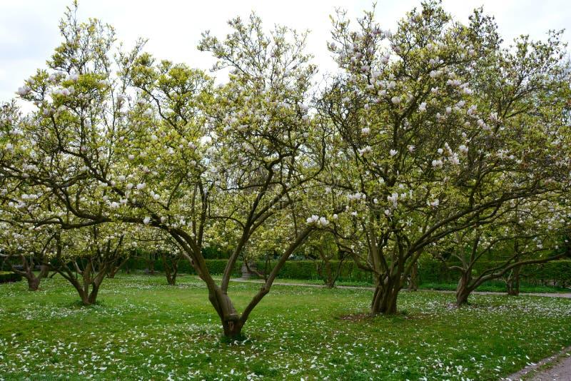 Vita magnoliaträd i parkeramagnoliaceaen royaltyfri bild