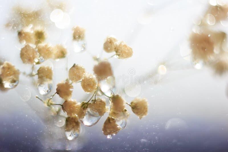 Vita makroblommor med stora droppar och blå bokeh för djup fuktighet royaltyfri foto