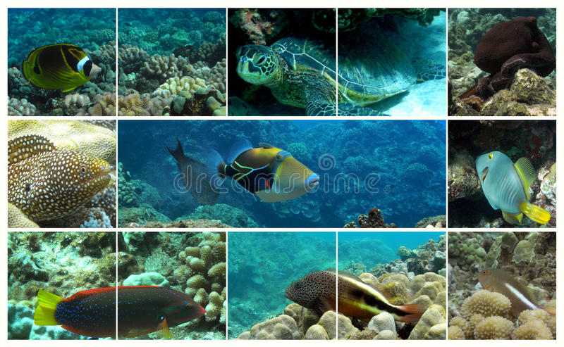 Vita marina hawaiana immagine stock