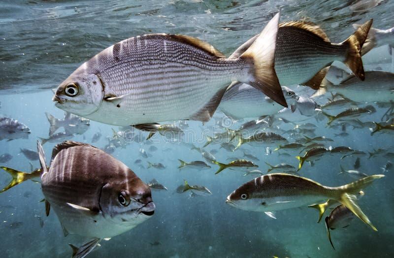 Vita marina nell'Oceano Atlantico sulla costa cubana immagini stock libere da diritti