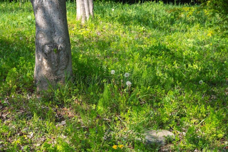 Vita maskrosor gör grön fältet och träd i en sommarskog arkivfoto