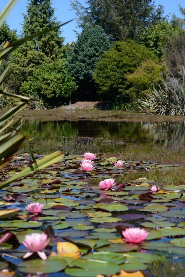 Vita näckrors ner på dammet fotografering för bildbyråer